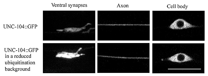 Figure 1: The Caenorhabditis elegans Kinesin-3 Motor UNC-104/KIF1A is degraded upon loss of specific binding to cargo...